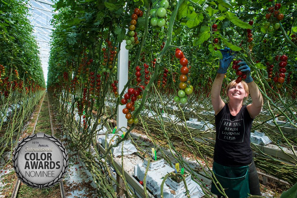Tomatoes at Thanet Earth with Andrew Restall (Sainsbury's buyer), Melissa Jones (Sainsbury's tech), Gert Van Straalen(Technician Thanet Earth), Duncan and Jason (Thanet Earth), Tuesday 7 June 2016
